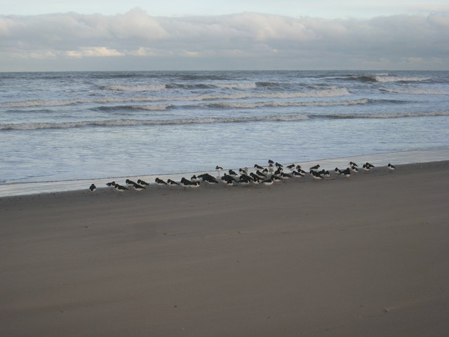 Oystercatchers on the beach
