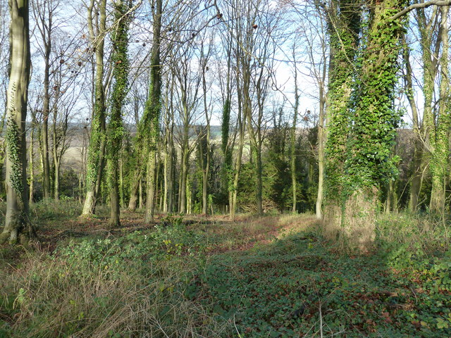 Ivy clad trees on Walderton Down