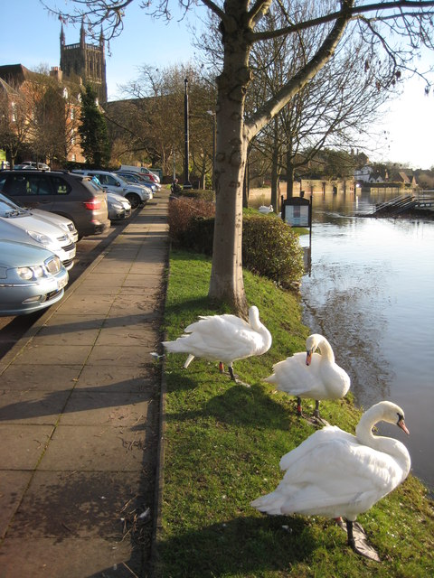 Swans overlook a flooded River Severn