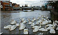 SU9677 : Swans on the River Thames by Peter Trimming