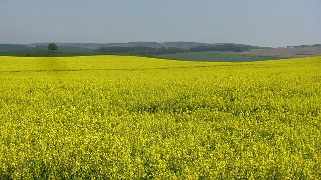Oil seed rape, Carfrae
