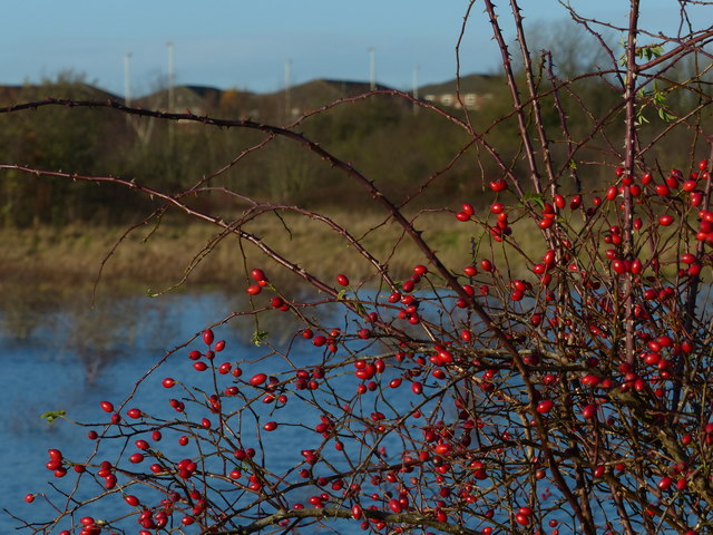 Berries next to a small lake