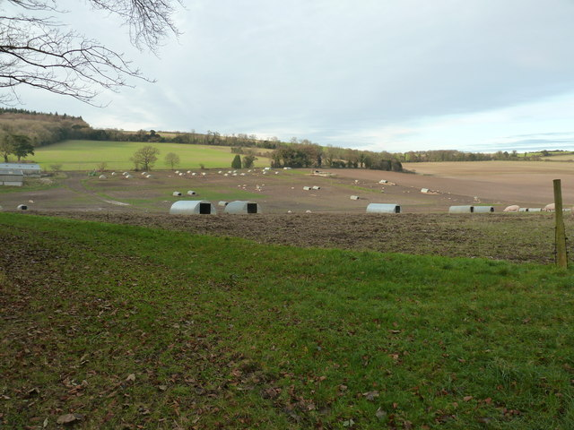Pig farming at Adsdean Farm