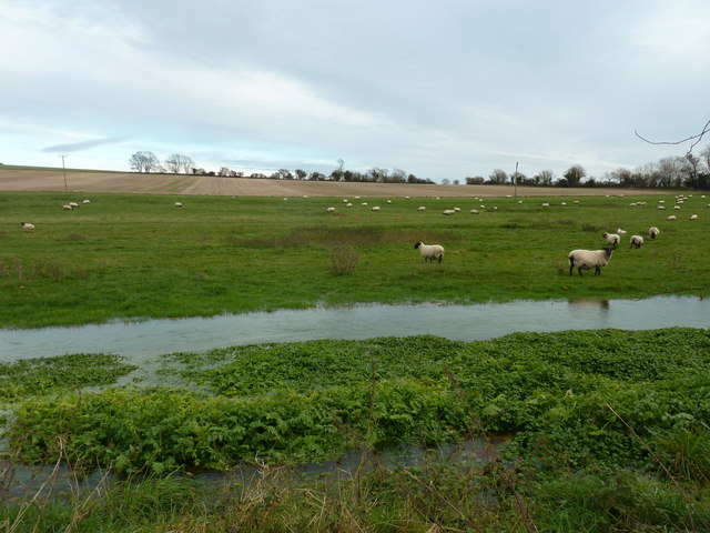 Grazing sheep with plenty to drink