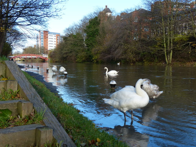 Swans on a flooded towpath