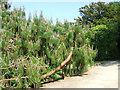 SX4552 : Mexican Pine in the Earl's Garden by Robin Stott