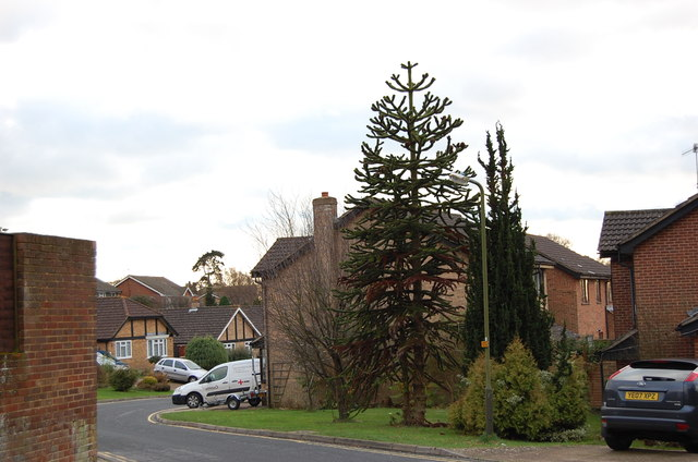 Araucaria Araucana tree, Highview Close