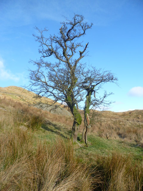 Old Hawthorn