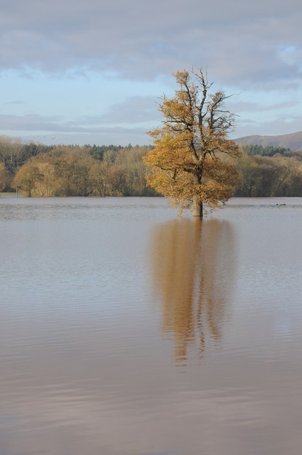 Oak tree in floodwater