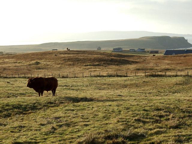Bull in a field at Clachan