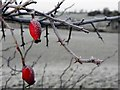 H3966 : Frosted rosehips, Glennan : Week 50