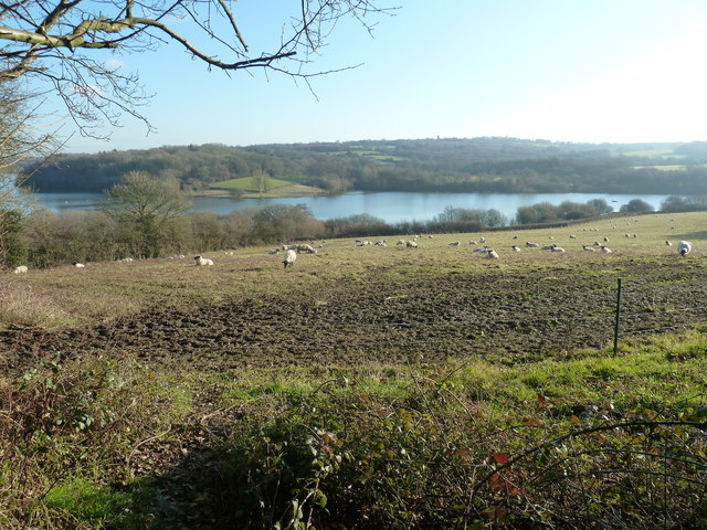 Grazing sheep above Weir Wood Reservoir