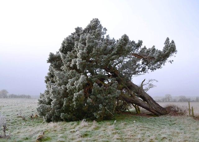Image result for pruning damaged trees ncsu