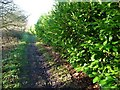 SE4232 : Laurel hedge alongside the East Garforth footpath by Christine Johnstone
