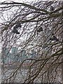 TQ3078 : &quot;Shoe tree&quot;, Millbank by Oliver Dixon