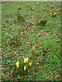 SX9063 : Crocuses, Abbey Gates by Derek Harper