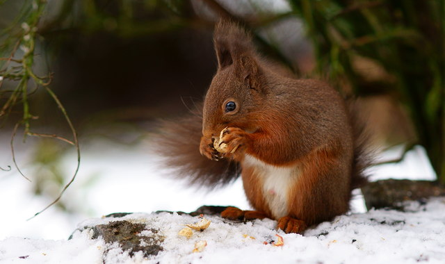 red squirrel in snow happy in the snow peter trimming cc by sa20 geograph