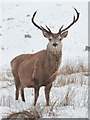 NN3767 : Stag near Loch Ossian Youth Hostel : Week 4