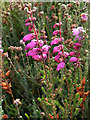 SY9787 : Dorset Heath (Erica ciliaris) by Phil Champion