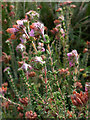 SY9787 : Cross-leaved heath (Erica tetralix) by Phil Champion