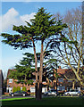 TQ3171 : Conifer, Lakeview Road (2) by Stephen Richards