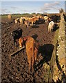 SX7785 : Cattle near Pepperdon Farm by Derek Harper