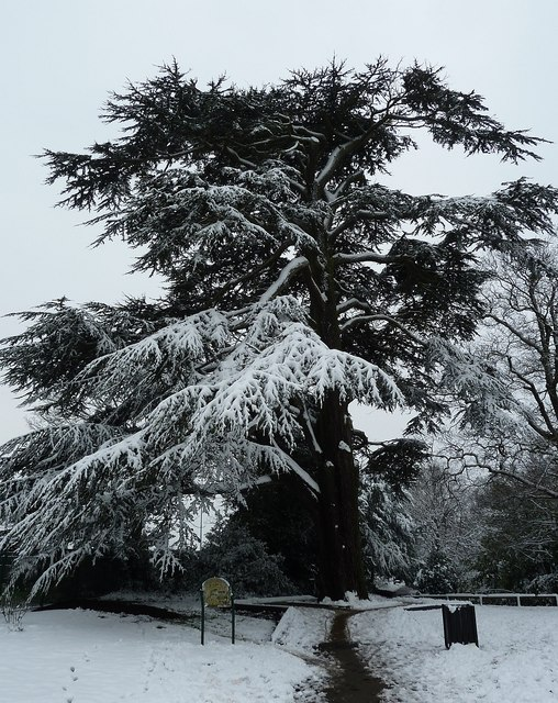 Snow-covered Cedar of Lebanon (Cedrus libani)