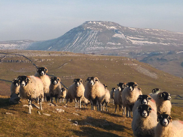 Swaledale sheep above ...