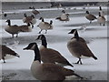 TQ2782 : Birds on frozen pond, Regent's Park NW1 by R Sones