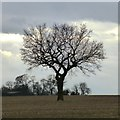 SK4948 : Oak in a field by David Lally