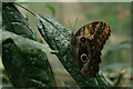 TQ0658 : Owl Butterfly, Wisley, Surrey by Peter Trimming