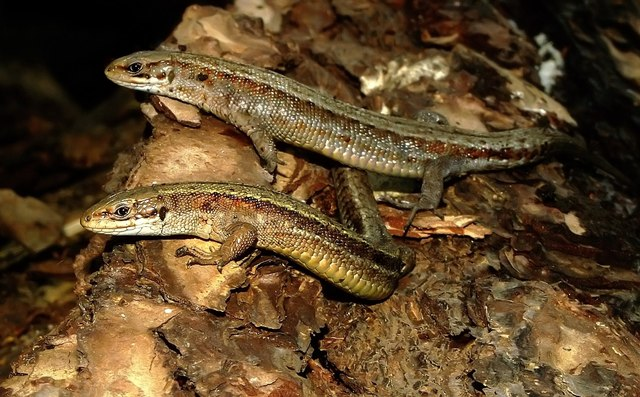 Common lizards at Twizell Mill