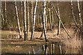 SK9166 : Birch trees and logs in the Wildflower Meadow : Week 10