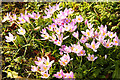 SK8693 : Crocuses by Richard Croft