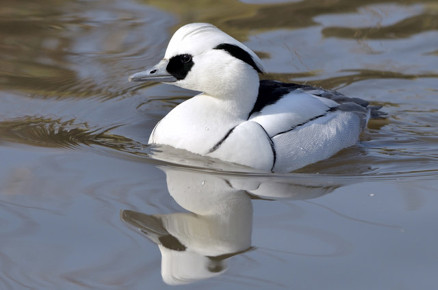 Smew - Wildfowl and Wetlands Trust, Slimbridge
