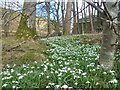 NY1929 : Snowdrops at Kelswick by Michael Graham