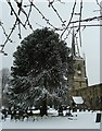 SP3297 : Monkey Puzzle tree in front of St Peter's by Rob Farrow