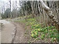 SD4476 : Daffodils, Arnside park by Michael Graham