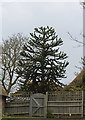 TQ6311 : Monkey Puzzle Tree, Church Road, Herstmonceux by J.Hannan-Briggs