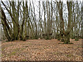 TQ4299 : Mostly old beech pollards, Epping Forest by Robin Webster