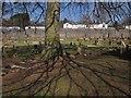 SX9066 : Beech in Torquay Cemetery by Derek Harper