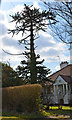 TQ8112 : Monkey Puzzle Tree, Park Wood Road, St Leonards by Julian P Guffogg