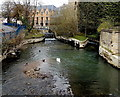 SP5006 : A swan viewed from Swan Bridge, Oxford by John Grayson
