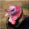 C1909 : Turkey, Lurgybrack Open Farm : Week 14