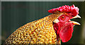 C1909 : Cockerel, Lurgybrack Open Farm by Rossographer
