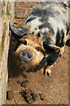 SJ9921 : A pig and its poo - Shugborough Park Farm by Chris Allen
