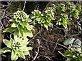 NY7114 : White butterbur (Petasites albus), hedgerow, Mask Road by Andrew Curtis
