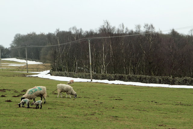 Spring Lamb and Winter snow