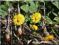 NT3471 : Coltsfoot (Tussilago farfara) by Anne Burgess