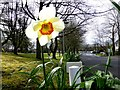 H4573 : Daffodil, Omagh by Kenneth  Allen